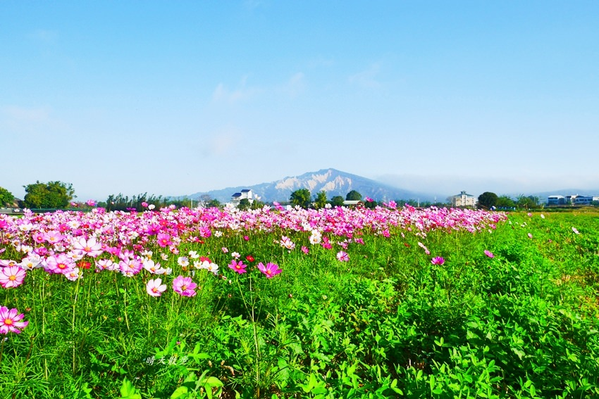 20190615165442 77 - 台中景點|后里安眉路邊美景~波斯菊映襯下的火炎山 彷彿迷你版日本富士山