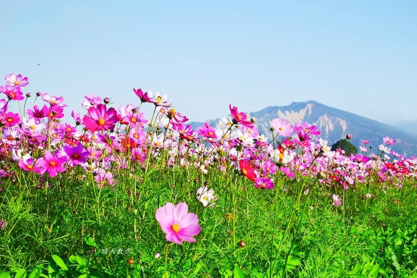 20190615165445 68 - 台中景點|后里安眉路邊美景~波斯菊映襯下的火炎山 彷彿迷你版日本富士山