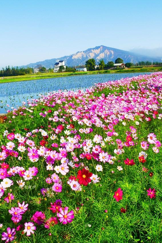 20190615165507 27 - 台中景點|后里安眉路邊美景~波斯菊映襯下的火炎山 彷彿迷你版日本富士山