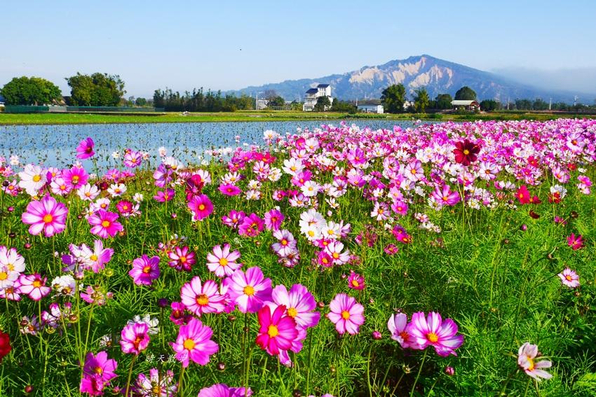 20190615165509 29 - 台中景點|后里安眉路邊美景~波斯菊映襯下的火炎山 彷彿迷你版日本富士山