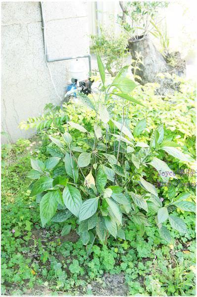 [植物染]台灣藍染的原始素材~馬藍(大青)葉汁液染衣